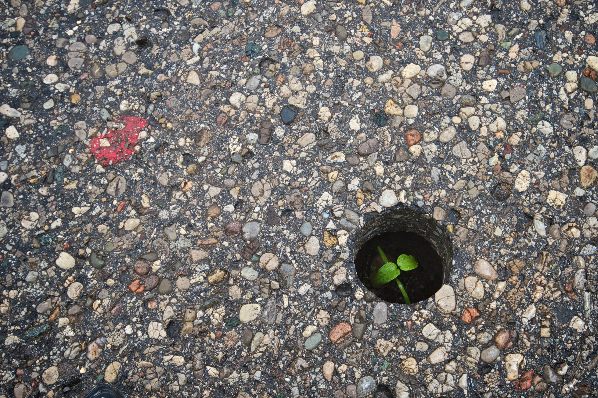 A photo of a tiny green plant, growing in a hole in the concrete.