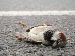 Image of a dead bird on the street