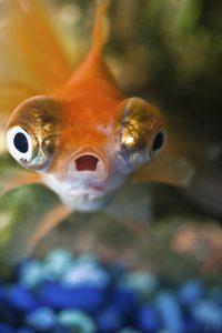 close up of an aquarium fish