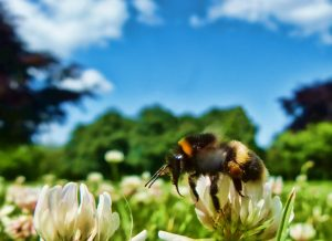 Photo of a bee in the clover on a sunny afternoon