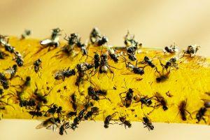 Photo of flies caught on flypaper.