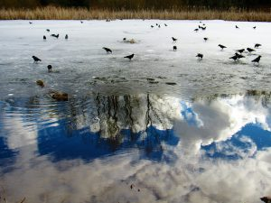 Photograph of a melting pond with crows.